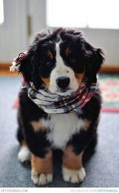 my future baby: a Bernedoodle... I am thiiiiis close to having Barry convinced we should get one!