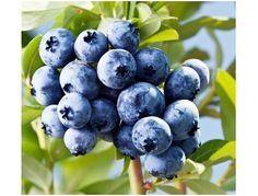 300-600 *Super Sweet n Huge* Blueberry Seeds - Highbush Mix Perennial Fruit 145/290mg (UN ONLY)