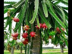 "A pitaya or pitahaya is the fruit of several cactus species indigenous to the Americas. ""Pitaya"" usually refers to fruit of the genus Stenocereus, while ""pitahaya"" or ""dragon fruit"" refers to fruit of the genus Hylocereus. Fruit Plants, Fruit Trees, Trees To Plant, Cactus Plants, Garden Plants, Dwarf Plants, Fruit Garden, Dragon Fruit Cactus, How To Grow Dragon Fruit"