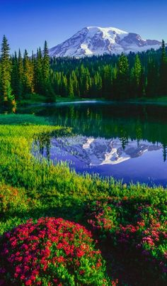 Mt. Rainier and red heather at Reflection Lakes in Mount Rainier National Park, Washington