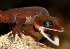 Cat Gecko. Lizard Types, Chameleon Lizard, Paludarium, Reptiles And Amphibians, Animals Of The World, Lizards, Chameleons, Wildlife, Cats