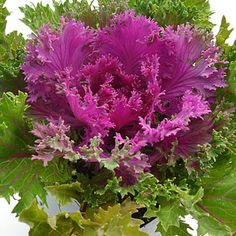 Ornamental Cabbage/Kale. Vibrant purple, green or white colours for pots or containers. www.artsnursery.com Plants, Flowers, Autumn Garden, Ornamental Cabbage, Food Garden, Flower Garden, Green, Outdoor Gardens, Gardening Tips