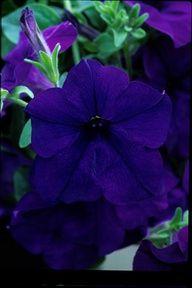Monaco Blue colored flower!