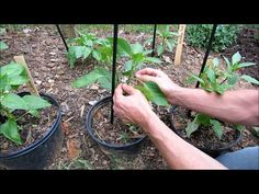 Pruning, Staking, Mulching & Fertilizing Young Peppers: Get Them Ready to Produce! Gardening Supplies, Gardening Tips, Tomato Support, Chilli Plant, Growing Bell Peppers, Garden Trellis, Garden Beds, Pepper Plants, Plant Images