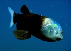 The barreleye has extremely light-sensitive eyes that can rotate within its transparent, fluid-filled head. Photograph: {link:http://www.mbari.org/}MBARI{/link}