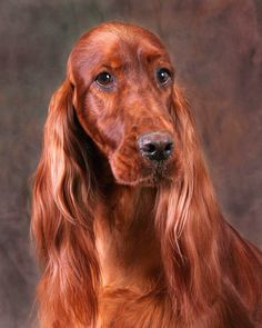 Another handsome Irish Setter.
