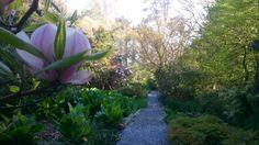 Magnolias flowering in the woodland @kilmokeacountrymanor