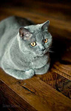 Le chartreux est une race de chat très ancienne. Il aurait été importé de Turquie ou d'Iran vers l'Europe par les templiers au 12ème siècle. La race a été reconnue en 1939. On le reconnait grâce à sa robe gris-bleu, ses yeux ronds couleur cuivre, et sa corpulence massive. C'est un chat assez indépendant. Il est discret et calme, mais aussi doux et affectueux. Il est également joueur, comme la plupart des chats. #Croquetteland #chat #race #chartreux #cat