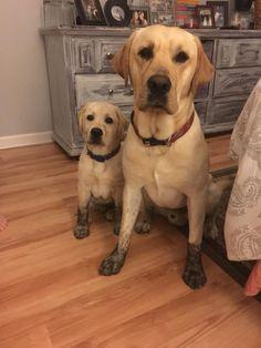 When mischief runs in the family. . . #dogs #dogoftheday #ilovemydog #puppy #lovedogs #servicedog #petlovers #doglovers #dog #puppylover #pets #servicedogs