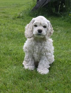 "Determine additional details on ""spaniel puppies"". Look into our web site. Perro Cocker Spaniel, American Cocker Spaniel, English Cocker Spaniel, Puppies And Kitties, Cute Puppies, Cute Dogs, Doggies, Animals And Pets, Baby Animals"