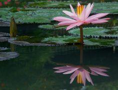 Teratai dikenal sebagai bunga air, bunga yang menawarkan keindahan dan ketenangan untuk jiwa.