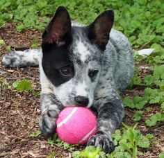 Cattle dog mix!