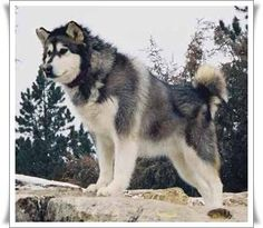 Wonderful All About The Siberian Husky Ideas. Prodigious All About The Siberian Husky Ideas. Giant Alaskan Malamute, Malamute Puppies, Alaskan Husky, Big Dogs, Cute Dogs, Dogs And Puppies, Interactive Dog Toys, Snow Dogs, Dog Wallpaper