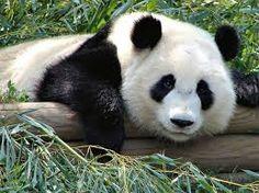 Resultado de imagen para osos panda bebes