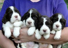 Breeder of Champion AKC English Springer Spaniels. I occasionally have a litter of English Springer Spaniel or Cavalier King Charles Spaniel puppies available. Springer Spaniel Puppies, English Springer Spaniel, Spaniel Dog, Cute Puppies, Dogs And Puppies, Baby Animals, Funny Animals, Pet Life, Charles Spaniel