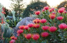 Leucospermum-Scarlet-Ribbon-Pincushion It would be nice to have some colour through native plants on the street side garden Australian Garden Design, Australian Native Garden, Australian Native Flowers, Australian Plants, Garden Shrubs, Succulents Garden, Garden Landscaping, Garden Plants, Garden Beds