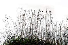 herbe sèche