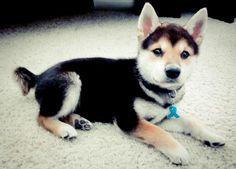 Shiba Inu, sexiest dog in the world