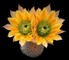 Echinocereus ctenoides (G.Engelmann) K.T.Rümpler in C.F.Förster 1886 (sensu S.Brack) (forma SB 1536 west of Melchor Múzquiz, Coahuila de Zaragoza, México, 500 m / 1640 ft) min.temp. (dry outdoor tested) <-12°C/<+10.4°F full sun, orange scented flowers