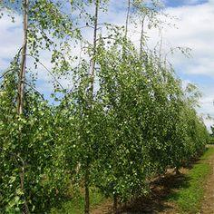 Irish Tree Centre - Betula Pendula 'Youngii' (Young's Weeping Birch)