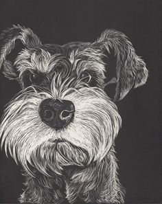 Miniature Schnauzers, as beautiful and stylish as they are, aren't just another pretty face. The breed started out as good old fashioned farm dogs that had a job to do, and that was to hunt and kill vermin threatening the food supply. Rats are tenacious fighters with very sharp teeth and claws, so the Schnauzer's facial hair was sometimes matted down into thick armor that would protect the dog's face from injury. Not surprisingly, this feature led to a German moniker: Schnauze, from the…
