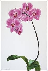 paintings watercolor phalaenopsis orchid - Google Search