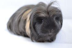 very fluffy guinea pig