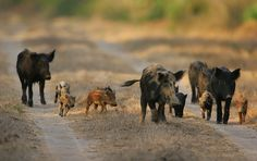 Government swine bans feral pigs in Michigan! Demand $700,000 from farmer!