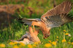 Common Kestrel Fight by Gerhard Kummer on 500px