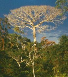 A Ceiba tree dominating the forest skyline.