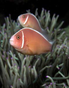 Skunk_anemonefish.jpg (471×600)