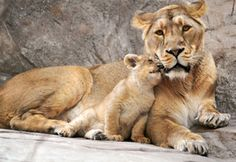 Обои детеныш, мать, львенок, Львица