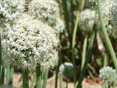 By in `n uie land Dandelion, Flowers, Nature, Plants, Naturaleza, Dandelions, Plant, Taraxacum Officinale, Royal Icing Flowers