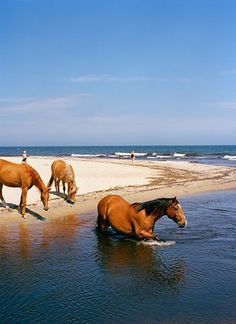 Wild horses still roam the beaches at Chincoteague and the Outer Banks, NC. It was a lovely sight to see! Horses on a beach. All The Pretty Horses, Beautiful Horses, Animals Beautiful, Cute Animals, Baby Animals, Cane Corso, Horse Pictures, Horse Love, Wild Horses