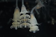 Jellyfish strilobating polyp - a life stage somewhere between growing into a flower-like polyp and popping off genetically identical sisters off the ends