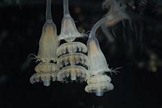 Jellyfish Larva