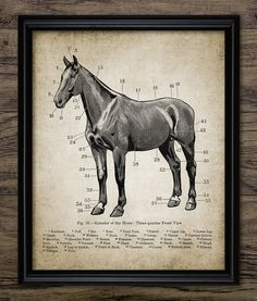Vintage Horse Anatomy Print - Horse Anatomy Illustration - Horse Anatomy Wall Art - Printable Art - Single Print #688 - INSTANT DOWNLOAD
