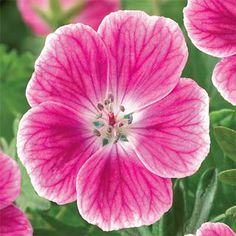 "(40) CRANESBILL 'ELKE' (EVERBLOOMING GERANIUM 'ELKE')-zones 3-8, full sun to partial sun, deer resistant, pink blooms appear late spring to fall, grows 6"" to 10"" tall"