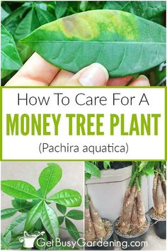Money Plant Care Guide: How To Take Care Of A Money Tree Plant Grow a thriving money tree to symboli Money Tree Plant Care, House Plant Care, House Plants, Money Tree Bonsai, Money Trees, Bonsai Tree Care, Bonsai Trees, Pachira Money Tree, Pachira Aquatica