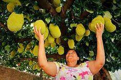 Resultado de imagem para árvores frutíferas em vasos decorativos Horticulture, Berries, Fruit, Gardening, Interior Design, Potted Herb Gardens, Decorative Vases, Vegetable Gardening, Garden