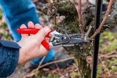 ciecie winorosli Vitis Vinifera, Pruning Shears, Grape Vines, Outdoor Gardens, Garden Tools, Adidas, Sad, Gardening, Deco