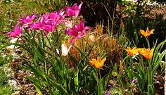 Gartentipps: Woran liegt es, wenn Tulpen und andere Blumenzwiebeln von Jahr zu Jahr weniger blühen  http://gartensaison-gartentipps.blogspot.de/2017/03/woran-liegt-es-wenn-tulpen-und-andere-Blumenzwiebeln-weniger-bluehen.html