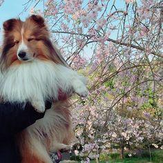 #シェルティ#シェットランドシープドッグ#ブサイク#桜 桜と一緒に写真を撮ろうと抱っこ。 そこまで嫌がらなくても。。 顔w