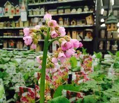 Bergenia Cordifolia  Kijk voor verzorgingstips op: https://www.facebook.com/IntratuinCruquius/app_106171216118819 (Plantentips)!