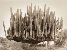 Мужчина и огромный кактус, Мексика, 1895 год