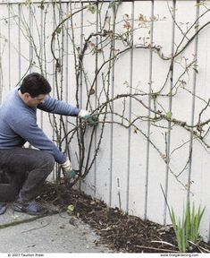 Roses Pruning Climbing Roses - Fine Gardening Article, -best to prune in winter while dormant, other tips.Pruning Climbing Roses - Fine Gardening Article, -best to prune in winter while dormant, other tips. Pruning Climbing Roses, Pruning Roses, Climbing Flowers, Rose Care, Fine Gardening, Organic Gardening, Vegetable Gardening, Container Gardening, Gardening Tips