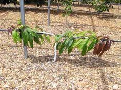 Espaliered Trees – Rare Fruit Society of South Australia Inc.
