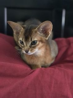 Big Cats, Cats And Kittens, Egyptian Mau, Zoo Keeper, Abyssinian, Cattery, Kitty Kitty, Claws, Baby Animals