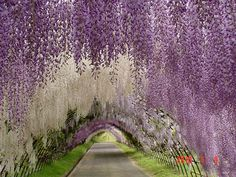 Wisteria tunnel - BEAUTIFUL!  ~this is my favorite plant. I want to one day have something similar to this except in the form of a beautiful wisteria gazebo.