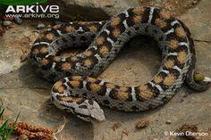 Montivipera albizona - Central Turkish Mountain Viper